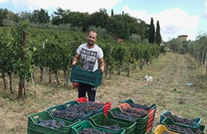 The Grape Harvest in Tuscany 'Vendemmia' 2017